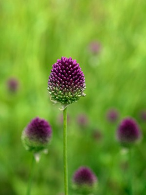 wpid2706-Allium-Plant-Profile-BALL051-nicola-stocken.jpg