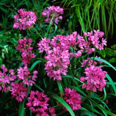 wpid2708-Allium-Plant-Profile-BALL052-nicola-stocken.jpg