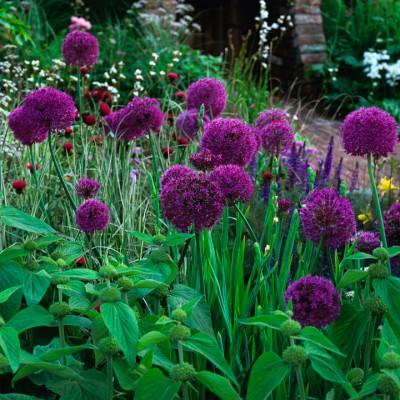 wpid2712-Allium-Plant-Profile-BALL070-nicola-stocken.jpg