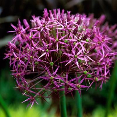 wpid2714-Allium-Plant-Profile-BALL074-nicola-stocken.jpg