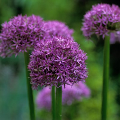 wpid2718-Allium-Plant-Profile-BALL084-nicola-stocken.jpg
