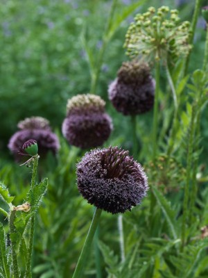 wpid2720-Allium-Plant-Profile-BALL087-nicola-stocken.jpg