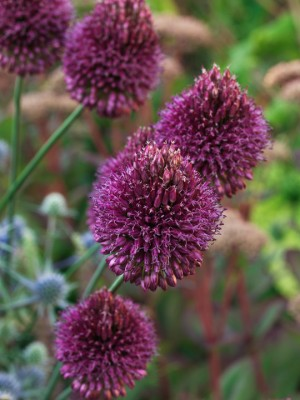 wpid2723-Allium-Plant-Profile-BALL089-nicola-stocken.jpg