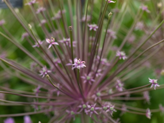 wpid2726-Allium-Plant-Profile-BALL093-nicola-stocken.jpg