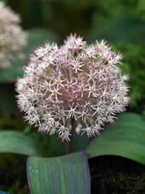 wpid2728-Allium-Plant-Profile-BALL094-nicola-stocken.jpg