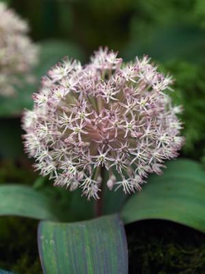wpid2728-Allium-Plant-Profile-BALL094-nicola-stocken.jpg