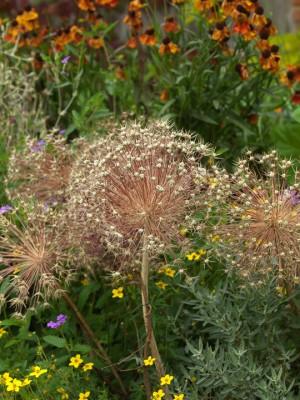 wpid2730-Allium-Plant-Profile-BALL097-nicola-stocken.jpg
