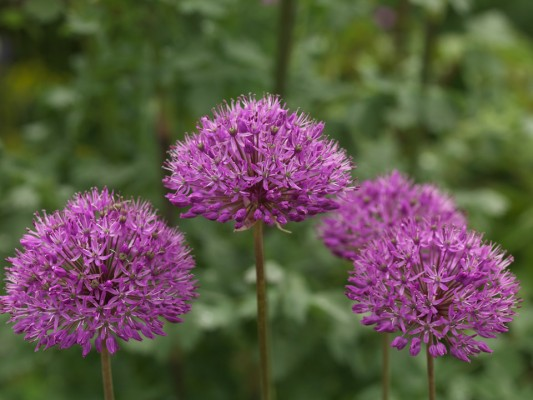 wpid2732-Allium-Plant-Profile-BALL101-nicola-stocken.jpg