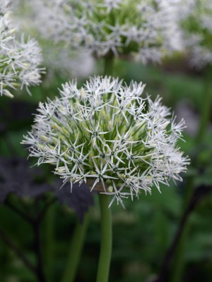 wpid2736-Allium-Plant-Profile-BALL107-nicola-stocken.jpg