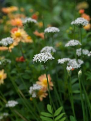wpid2740-Allium-Plant-Profile-BALL110-nicola-stocken.jpg