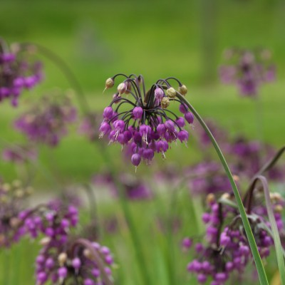 wpid2742-Allium-Plant-Profile-BALL113-nicola-stocken.jpg