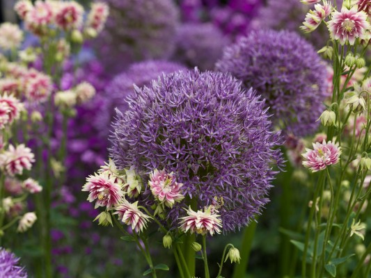 wpid2762-Allium-Plant-Profile-FCOM060-nicola-stocken.jpg