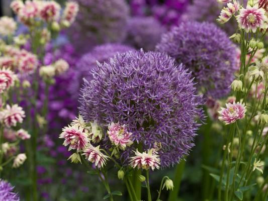 wpid2762-Allium-Plant-Profile-FCOM060-nicola-stocken.jpg