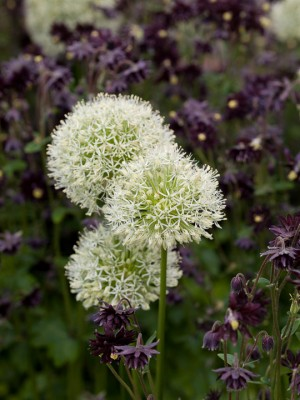 wpid2764-Allium-Plant-Profile-FCOM061-nicola-stocken.jpg