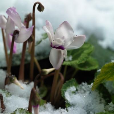 wpid3011-Ockwell-in-Snow-BCYC035-nicola-stocken.jpg