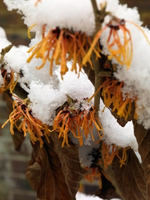 wpid3101-Ockwell-in-Snow-SHAM119-nicola-stocken.jpg