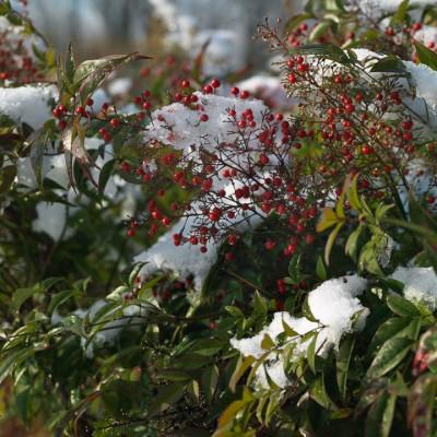wpid3107-Ockwell-in-Snow-SNAN005-nicola-stocken.jpg