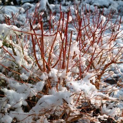 wpid3109-Ockwell-in-Snow-TCOR061-nicola-stocken.jpg