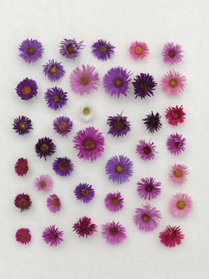 wpid3273-Aster-Plant-Profile-GBRO014-nicola-stocken.jpg