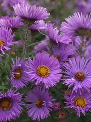 wpid3317-Aster-Plant-Profile-PAST041-nicola-stocken.jpg