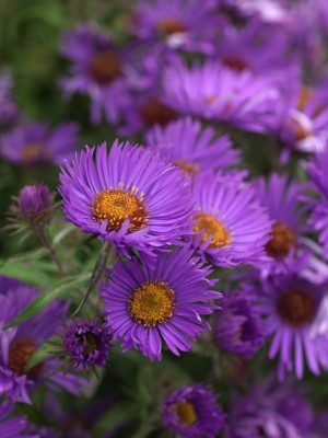 wpid3319-Aster-Plant-Profile-PAST042-nicola-stocken.jpg