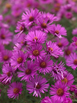 wpid3321-Aster-Plant-Profile-PAST043-nicola-stocken.jpg