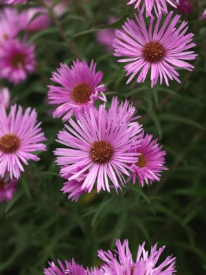 wpid3323-Aster-Plant-Profile-PAST044-nicola-stocken.jpg
