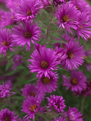 wpid3327-Aster-Plant-Profile-PAST046-nicola-stocken.jpg