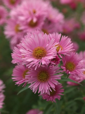 wpid3331-Aster-Plant-Profile-PAST048-nicola-stocken.jpg