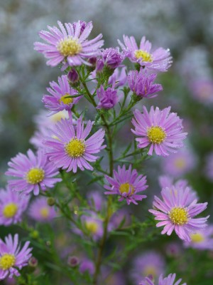 wpid3335-Aster-Plant-Profile-PAST051-nicola-stocken.jpg