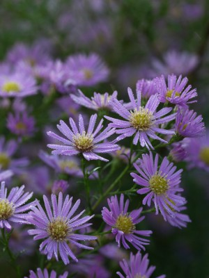 wpid3337-Aster-Plant-Profile-PAST053-nicola-stocken.jpg