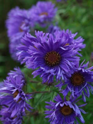 wpid3339-Aster-Plant-Profile-PAST054-nicola-stocken.jpg
