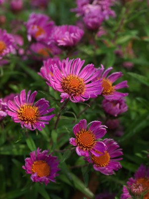 wpid3341-Aster-Plant-Profile-PAST055-nicola-stocken.jpg
