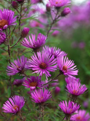 wpid3343-Aster-Plant-Profile-PAST056-nicola-stocken.jpg
