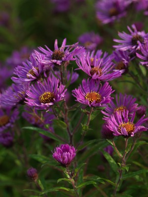 wpid3345-Aster-Plant-Profile-PAST057-nicola-stocken.jpg