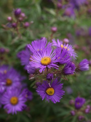 wpid3347-Aster-Plant-Profile-PAST059-nicola-stocken.jpg
