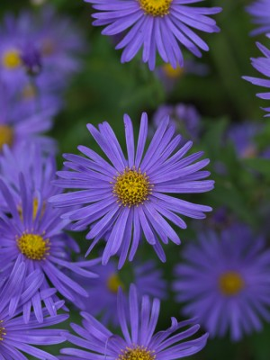 wpid3349-Aster-Plant-Profile-PAST060-nicola-stocken.jpg