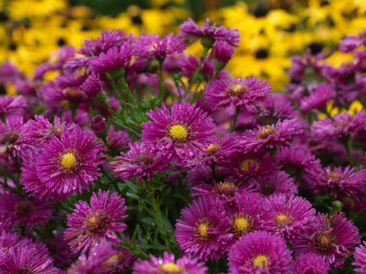 wpid3351-Aster-Plant-Profile-PAST061-nicola-stocken.jpg
