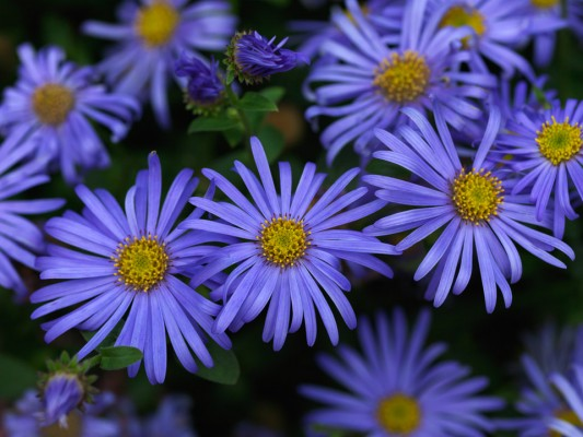 wpid3355-Aster-Plant-Profile-PAST069-nicola-stocken.jpg
