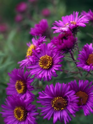 wpid3357-Aster-Plant-Profile-PAST074-nicola-stocken.jpg