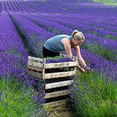 Thumbnail image for Hitchin Lavender