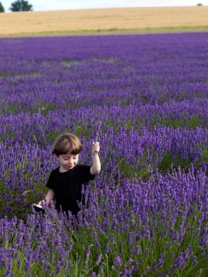 wpid5156-Hitchin-Lavender-GHLA006-nicola-stocken.jpg