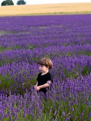 wpid5158-Hitchin-Lavender-GHLA007-nicola-stocken.jpg
