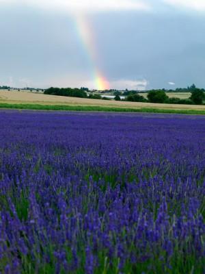 wpid5160-Hitchin-Lavender-GHLA008-nicola-stocken.jpg