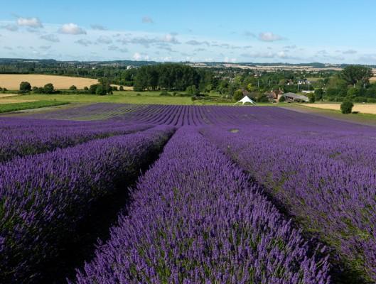 wpid5162-Hitchin-Lavender-GHLA009-nicola-stocken.jpg