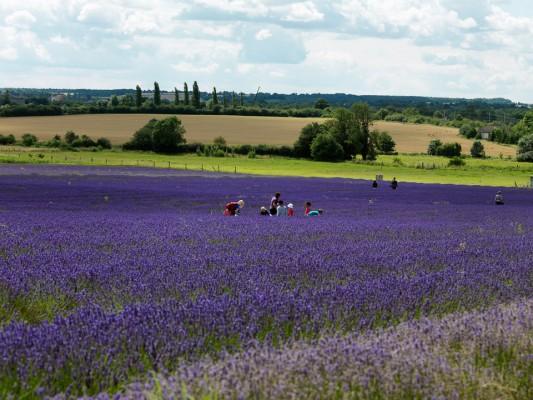 wpid5164-Hitchin-Lavender-GHLA011-nicola-stocken.jpg