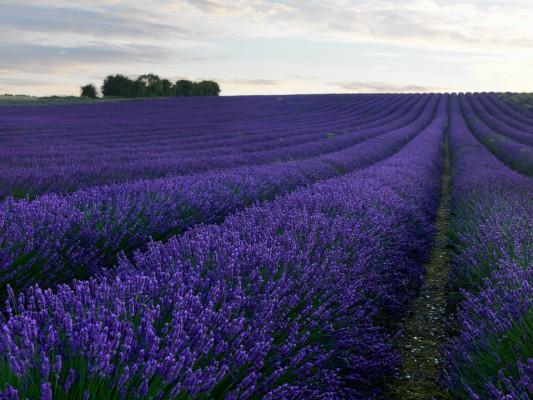 wpid5166-Hitchin-Lavender-GHLA012-nicola-stocken.jpg