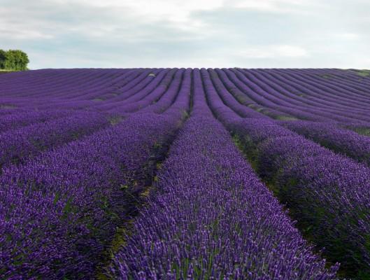 wpid5168-Hitchin-Lavender-GHLA013-nicola-stocken.jpg