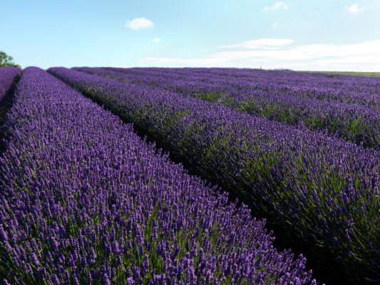 wpid5170-Hitchin-Lavender-GHLA014-nicola-stocken.jpg