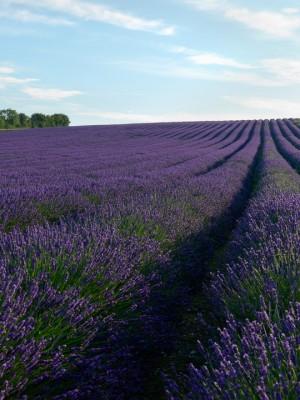 wpid5172-Hitchin-Lavender-GHLA016-nicola-stocken.jpg